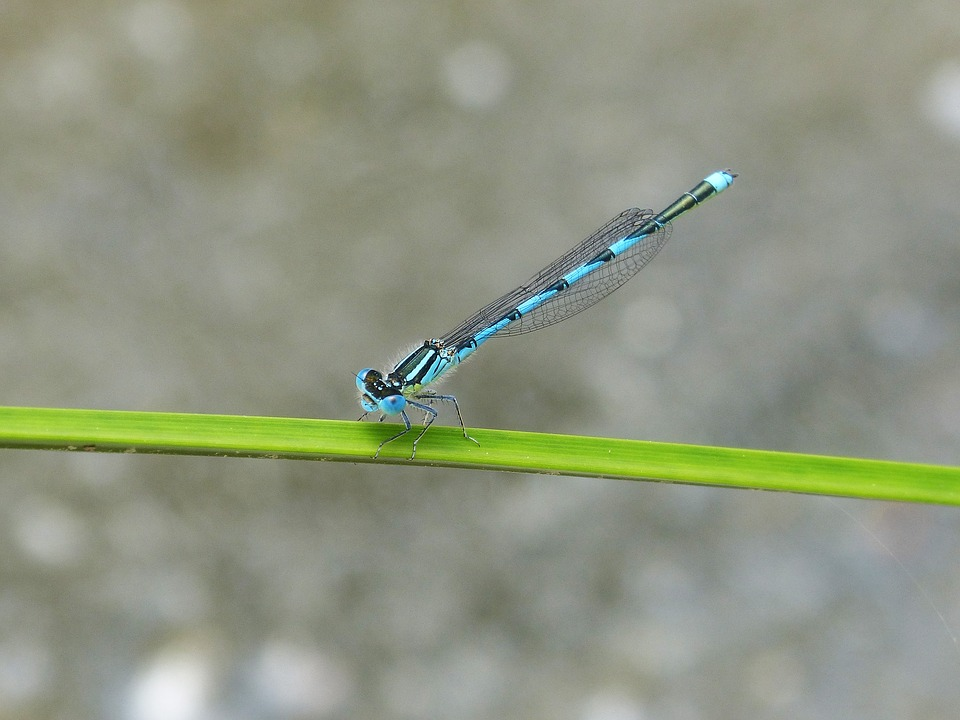 Dragonfly, Blue Dragonfly, Wetland, Leaf, Flying Insect