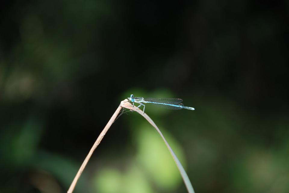 Dragonfly, Insect, Nature, Green, Blue