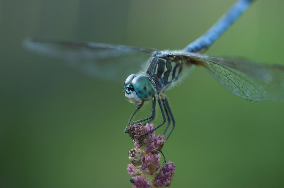 Dragonfly, Insect, Blue