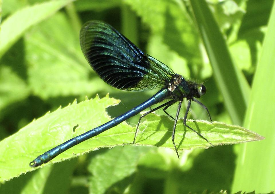 Dragonfly, Insect, Flight Insect, Blue Dragonfly, Shiny