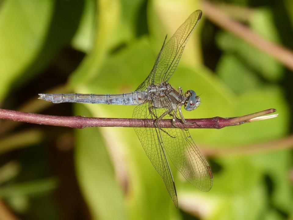 Dragonfly, Blue Dragonfly, Orthetrum Brunneum