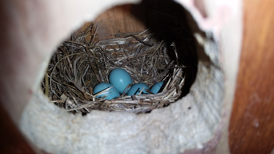 Robins Egg, Blue Eggs, Nest, Robin, Blue, Eggs, Spring