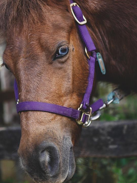 Pony, Blue Eyes, Brown Pony, Animal, Horse, Equestrian