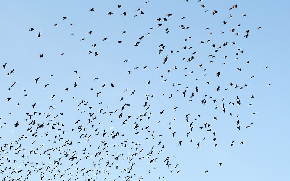 Birds, Sky, Blue, Flock