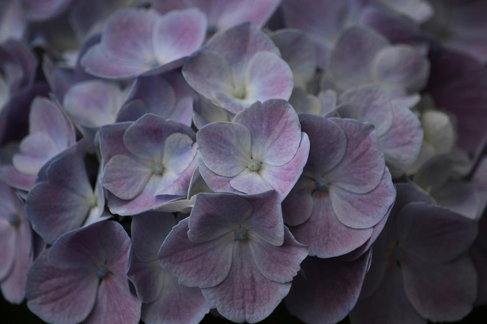 Flowers, Hydrangea, Flower, Flora, Blue, Summer, Garden