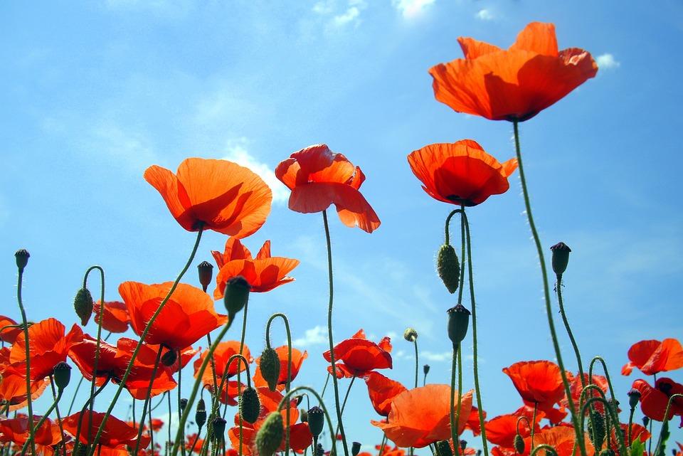 Poppy, Flowers, Blue, Red, Summer, Sky, Blossom, Flora