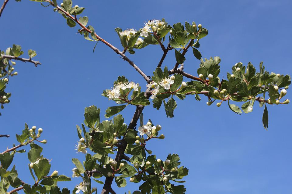 Tree, Branch, Nature, Flora, Sky, Hawthorn, Blue