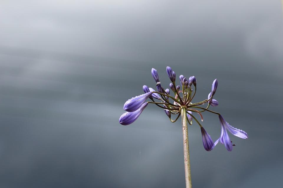 Agapanthus, Sky, Blue, Clouds, Flower, Bloom