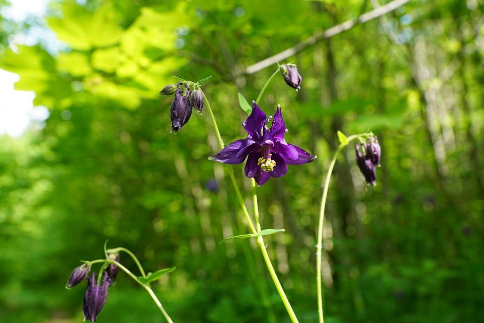 Bellflower, Flower, Blue, Bloom, Nature