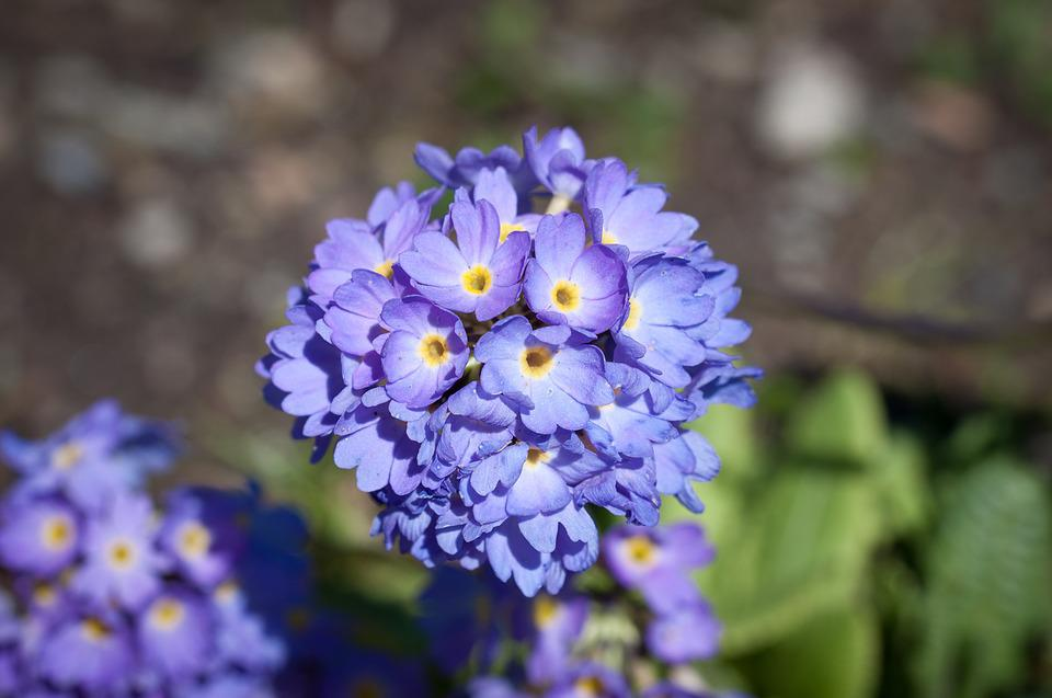 Primrose, Flower, Flowers, Blue Flower, Blue