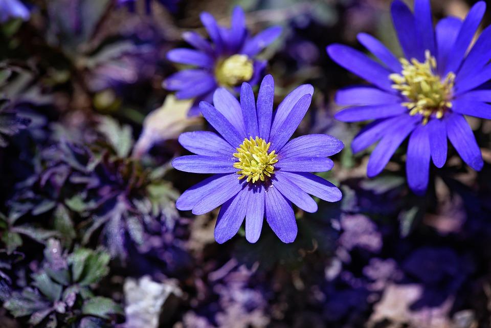 Balkan Anemone, Blue, Blue Flower, Spring Flower