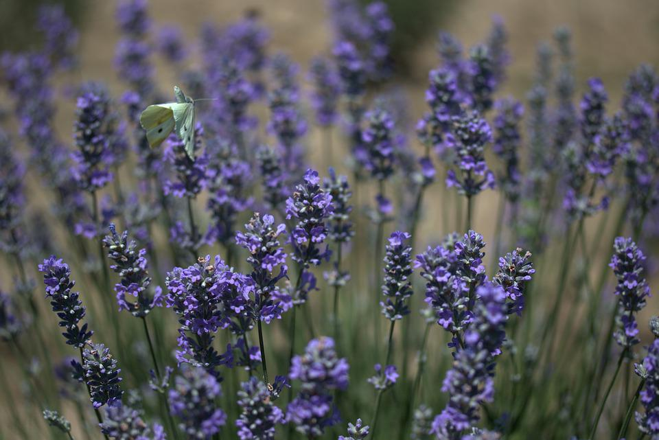 Lavender, Butterflies, Blue, Supplies, Flower, Perfume