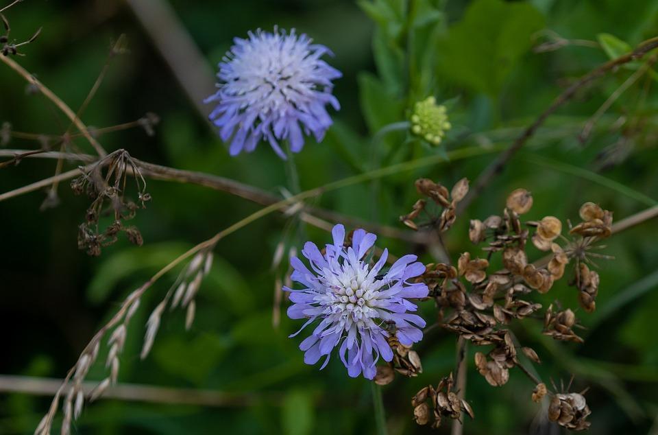 Field Scabious, Flowers, Knautia Arvensis, Blue Flower