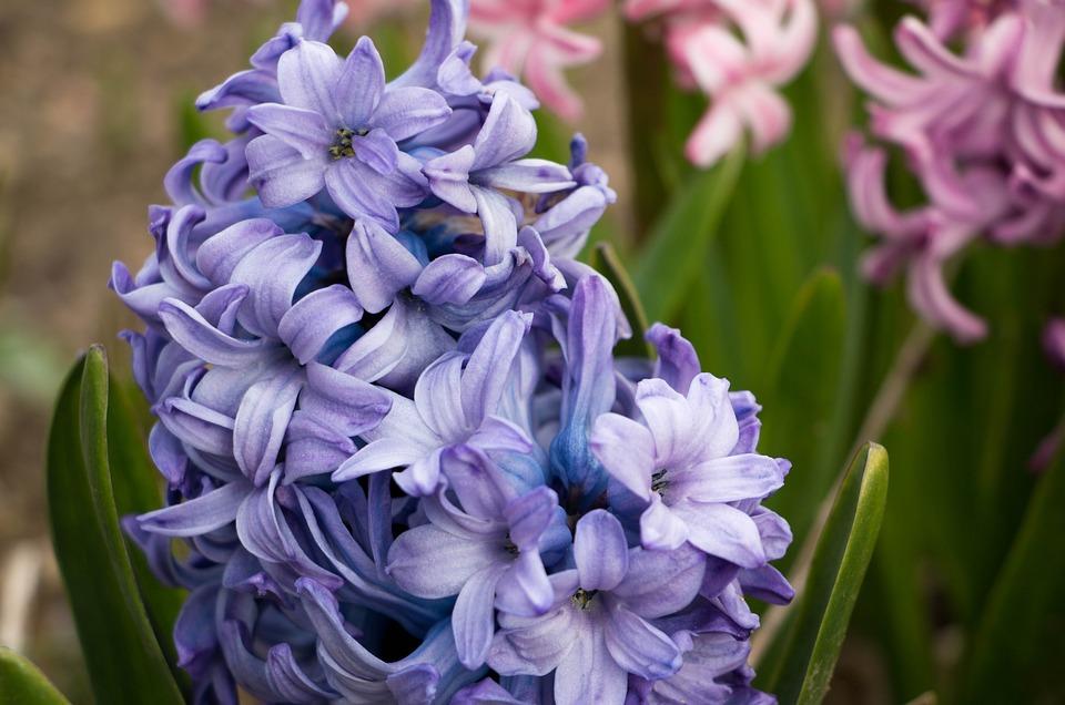 Free photo blue flower flowers violet spring hyacinth close max pixel hyacinth flower blue spring flowers close violet mightylinksfo Choice Image