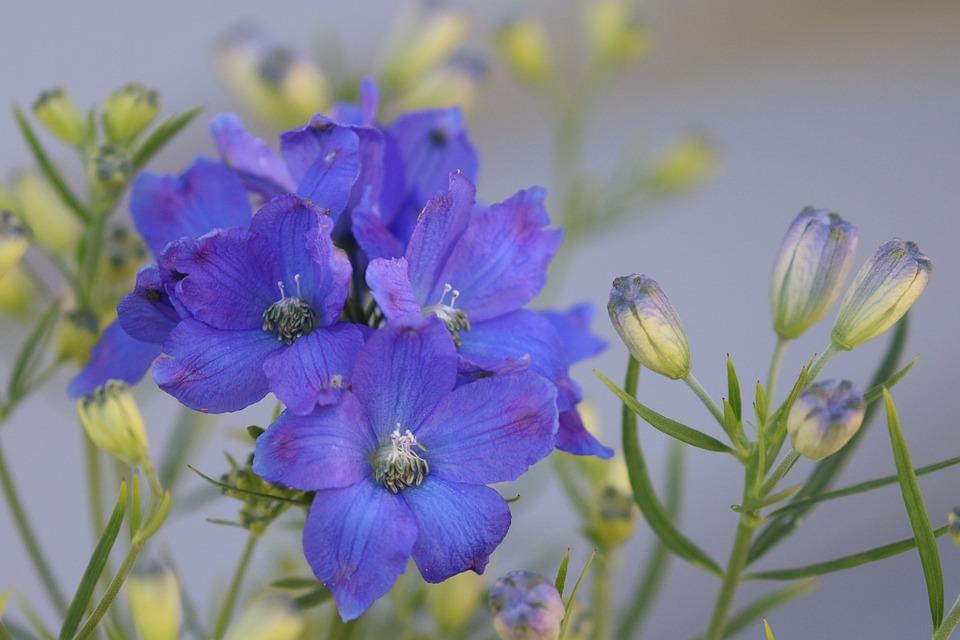 Flower, Blue, Bloom, Garden