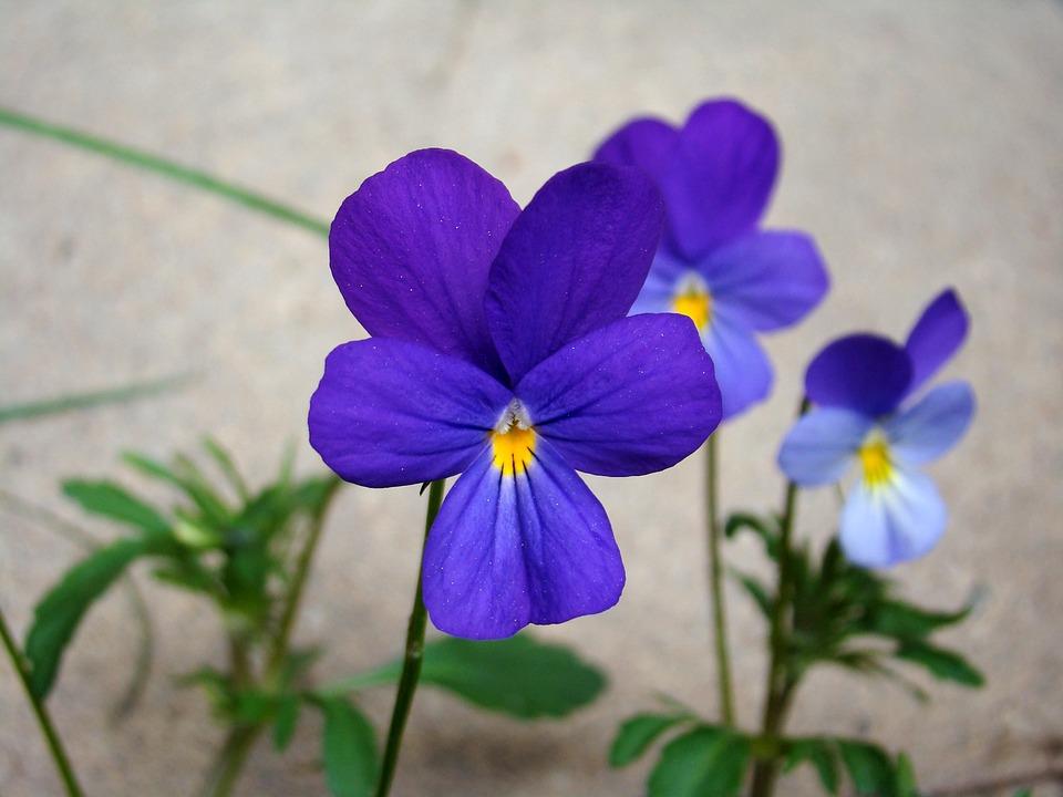 Wild Pansy, Flower, Blue, Summer, Nature