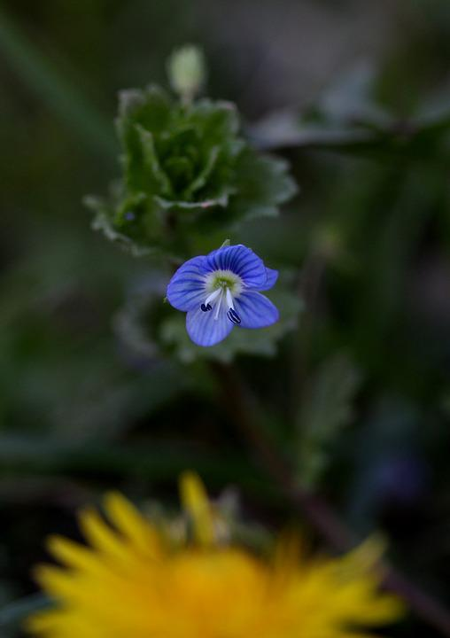 Flower, Small, Wild, Blue, Camp