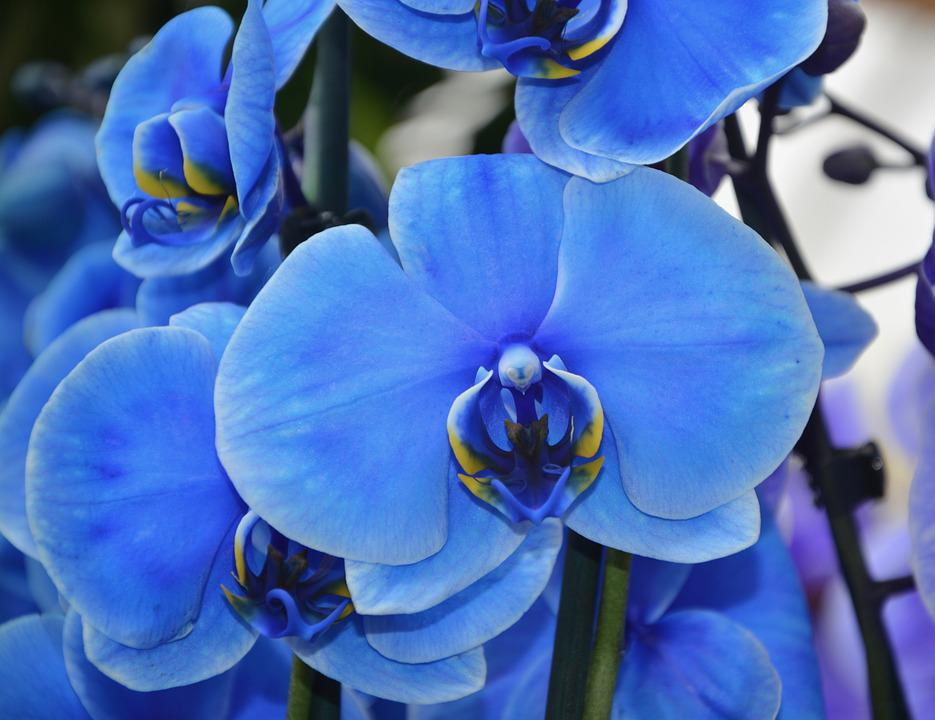 Free photo blue flower spring pretty orchid plant flowering max pixel orchid flower blue pretty spring plant flowering mightylinksfo