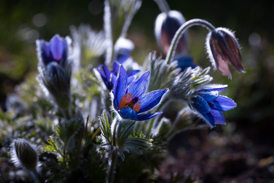 Anemone, Flowers, Flower, Plant, Blue, Spring