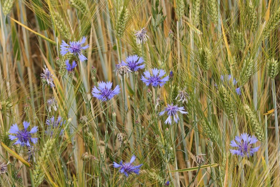 Barley Field, Ear, Field, Cornflower, Flowers, Blue