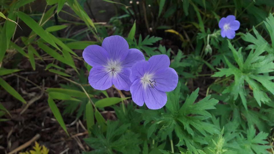 Trädgårdsnäva, Garden, Flower, Blue, Flowers, Summer