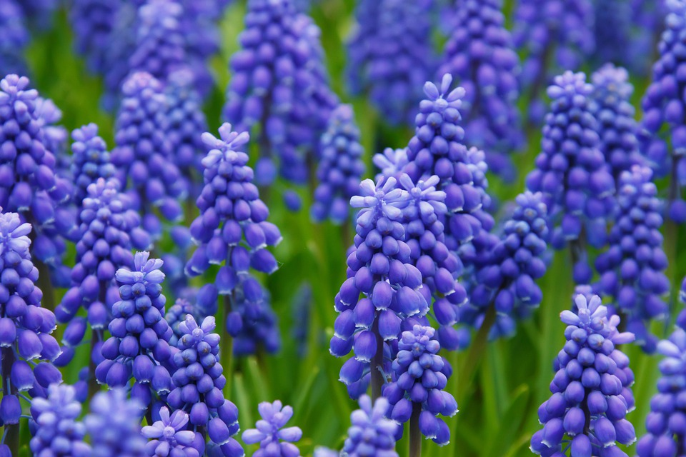 Field, Flowers, Grape Hyacinth, Muscari, Blue Flowers