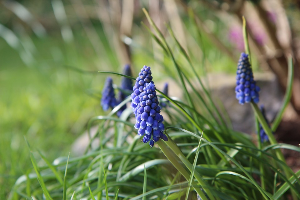 Muscari, Blue Flower, Spring, Blue Flowers