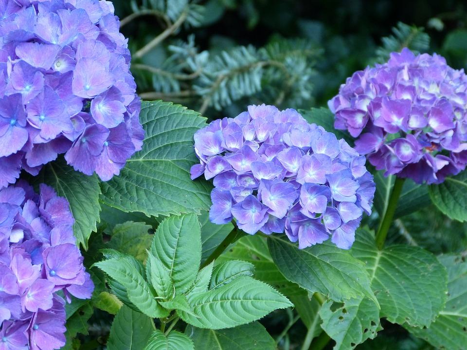 Hydrangeas, Garden, Flowers, Blue, Summer, Purple
