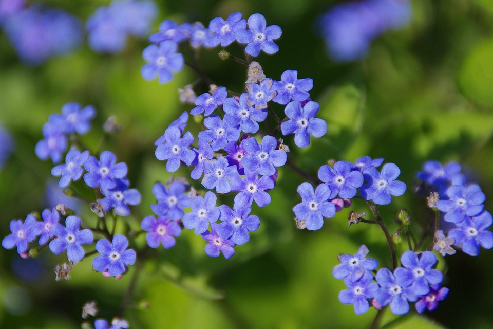 Flowers, Siberian Bugloss, Meadow, Blue Flowers
