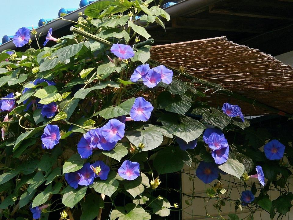 Morning Glory, Blue Flowers, Summer Flowers, Summer
