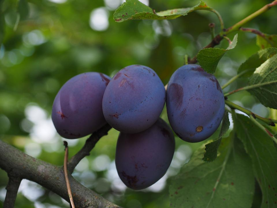 Plums, Plum Tree, Fruit, Food, Blue, Healthy, Violet