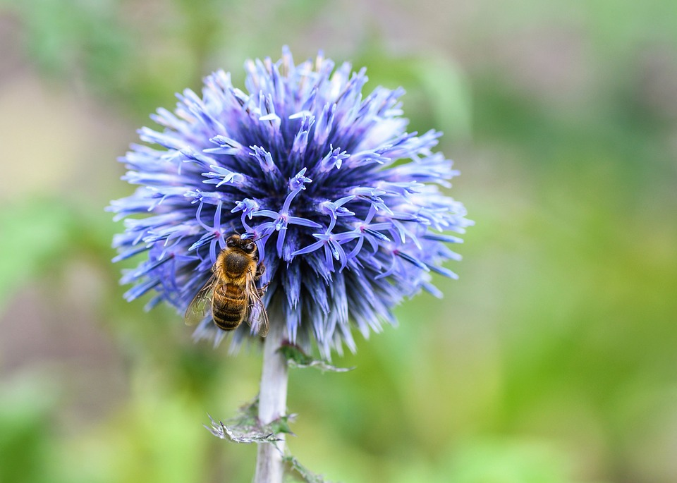 Bee, Thistle, Blue, Insect, Forage, Macro, Flower