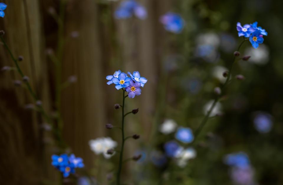 Forget Me Not, Flower, Blue, Bloom, Blossom, Bloom