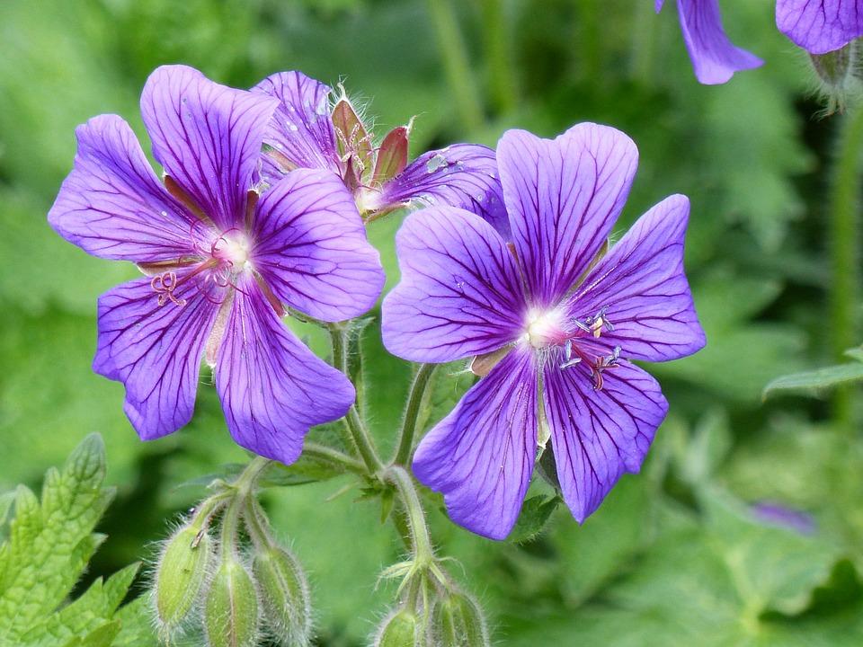 Cranesbill, Flowers, Blue, Colors, Garden, Summer