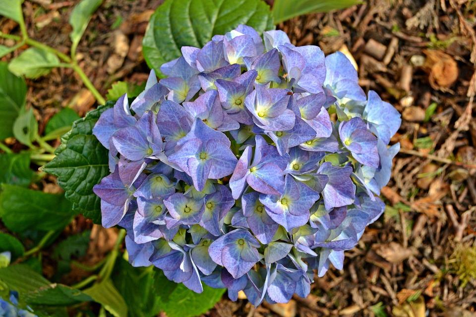 Hydrangea, Flowers, Blue Flowers, Blue, Nature, Garden