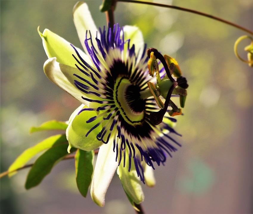 Passion Flower, Flower, Plant, Garden, Purple, Blue