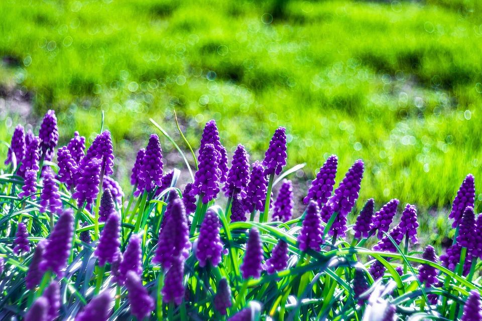 Grape Hyacinths, Flowers, Spring, Blue, Inflorescence
