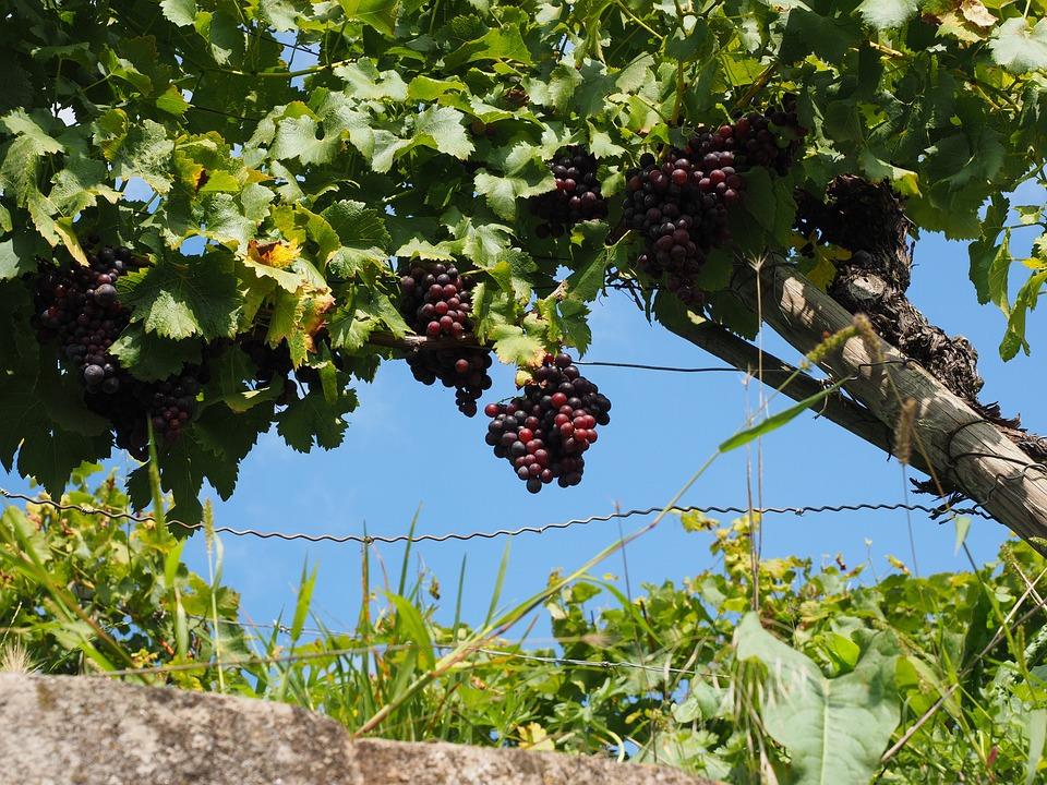 Grapevine, Grapes, Winegrowing, Blue, Plantation