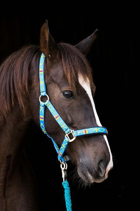 Horse, Brown, Halter, Blue, Head, Portrait, Animal