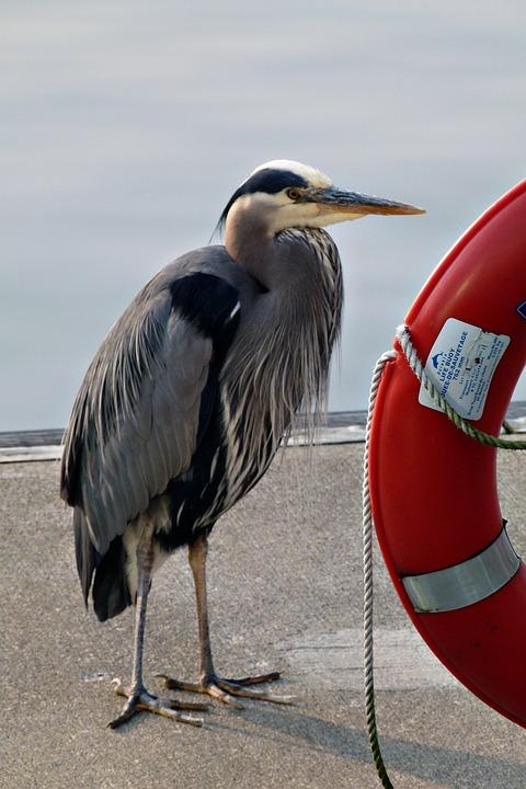 Blue Heron, Water, Bird, Rescue Ring, Harbor, Vancouver