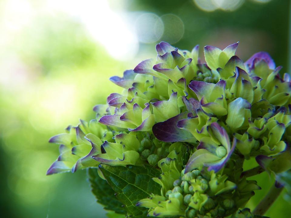 Hydrangea, Blue, Blossom, Bloom, Macro, Bokeh, Light
