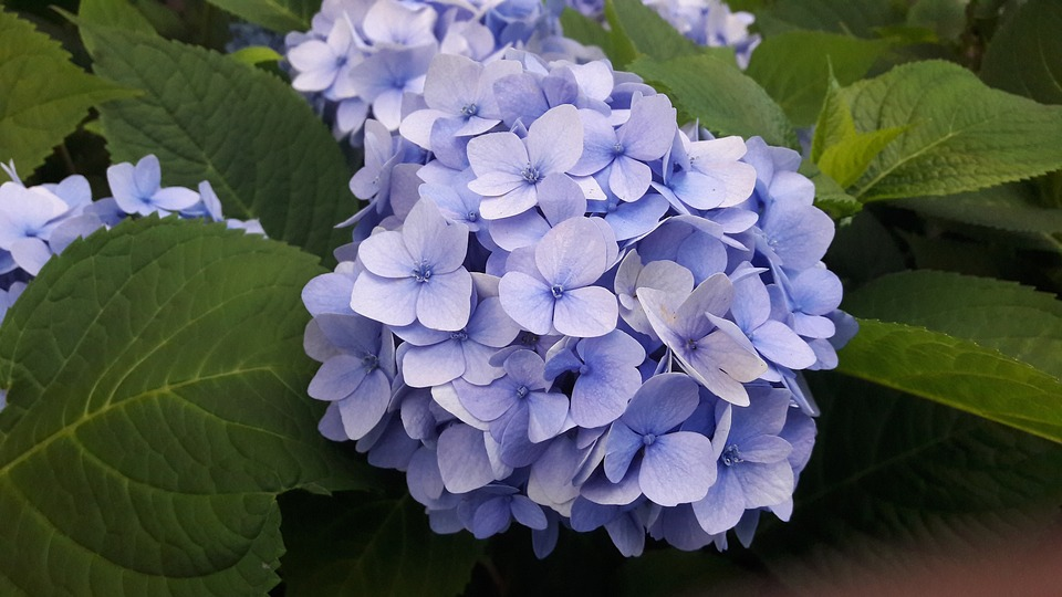 Hydrangeas, Blue, Blue Hydrangea, Blue Hydrangeas