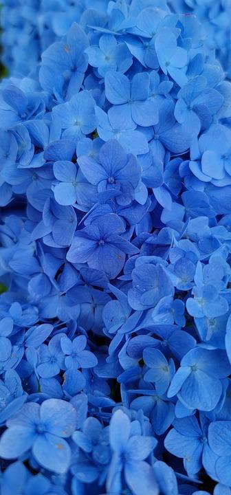 Hydrangea, Flowers, Blue Hydrangea, Petals, Blue Petals
