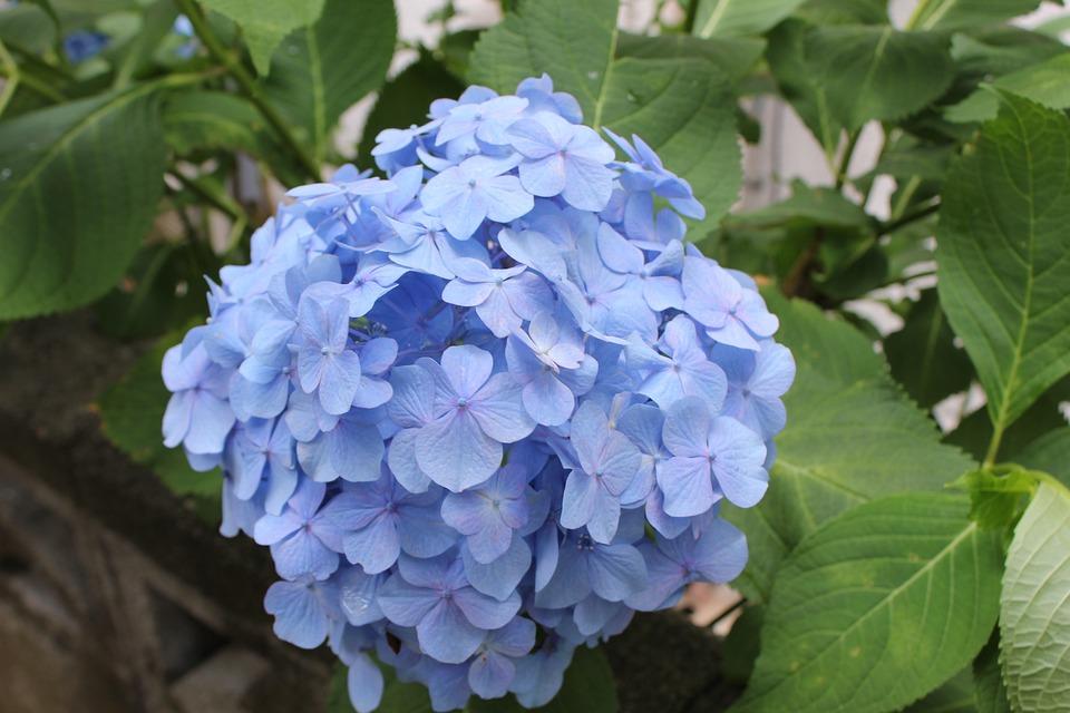 Hydrangea, June, Rainy Season, Blue