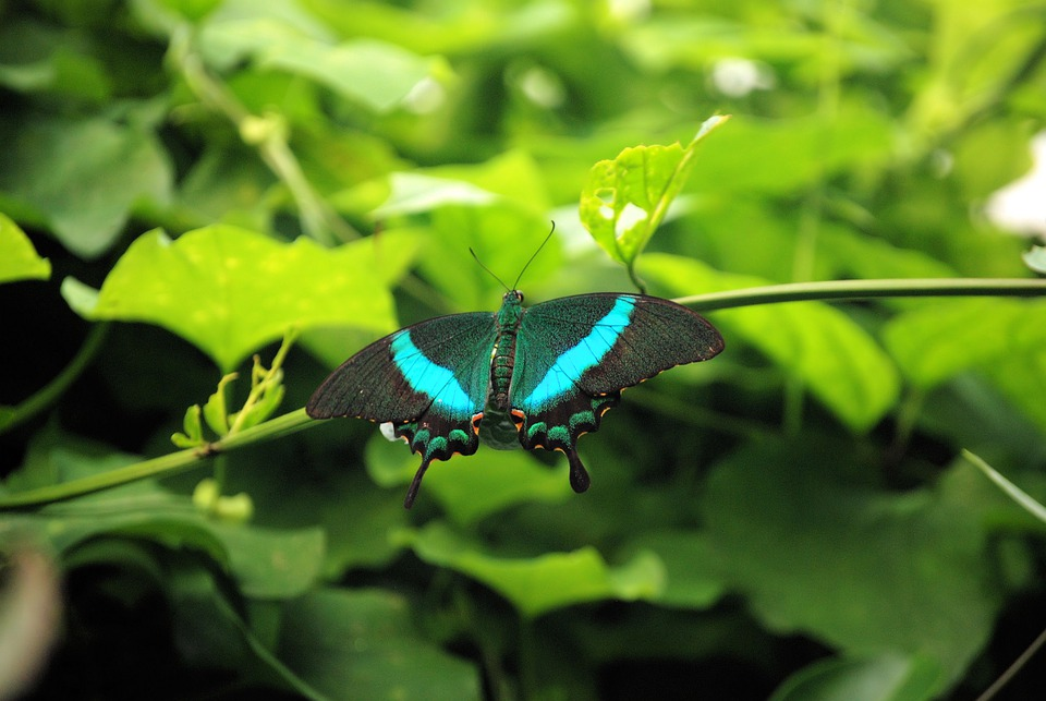 Butterfly, Flying, Insect, Blue, Lepidoptera, Wings