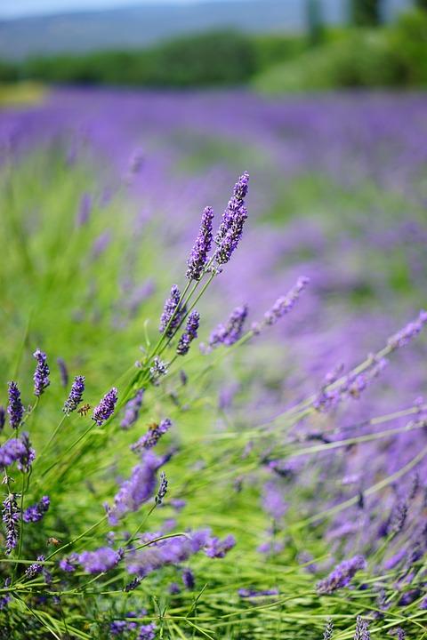Lavender, Lavender Field, Lavender Flowers, Blue