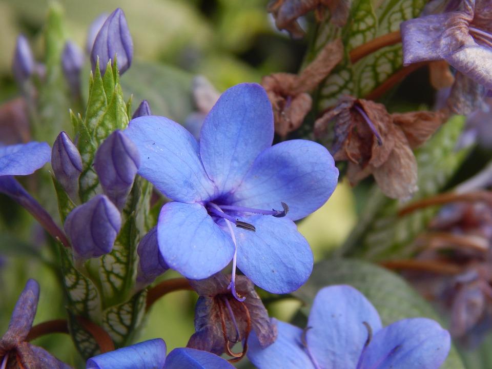Flower, Blue, Celeste, Lilac