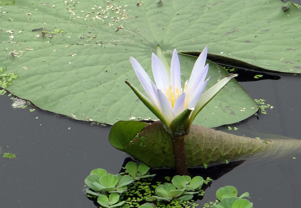 Water Lily, Blue Lily, Nymphaea Caerulea, Flower, Bloom