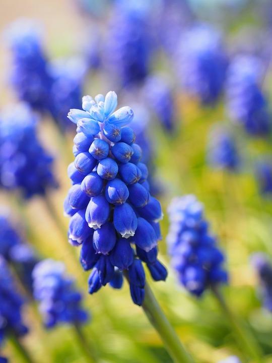 muscari flowers blue common grape hyacinth hyacinth