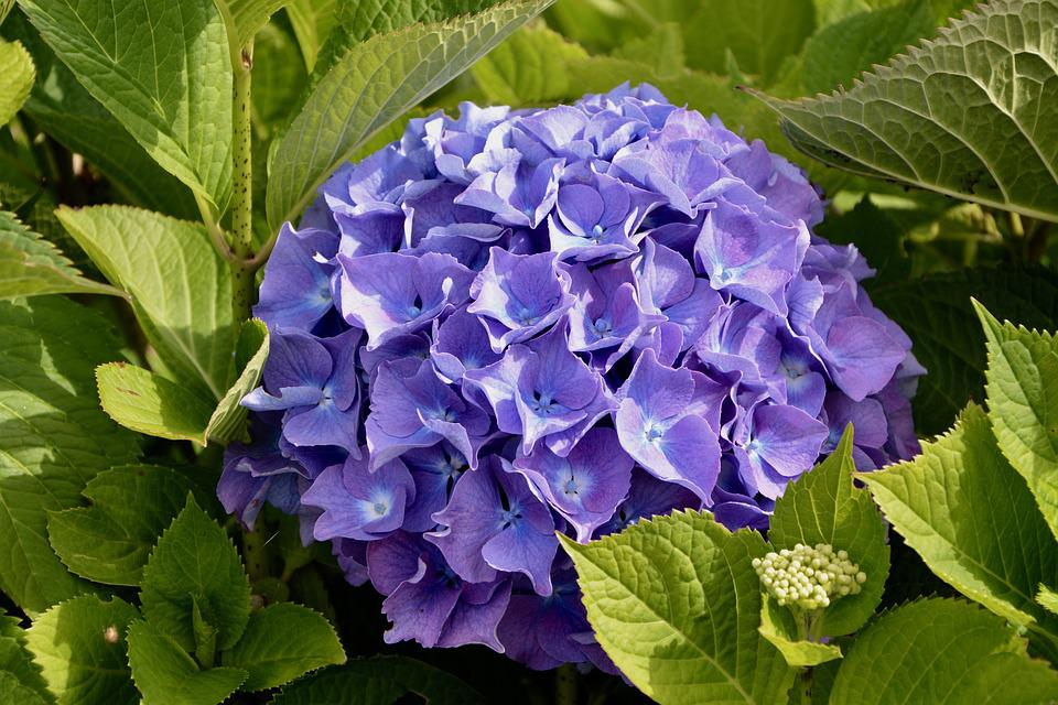 Hydrangea, Color, Violet, Blue, Summer Flowers, Nature